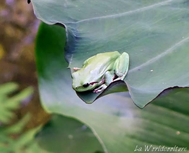 les jardins des martels tarn france grenouille arboricole