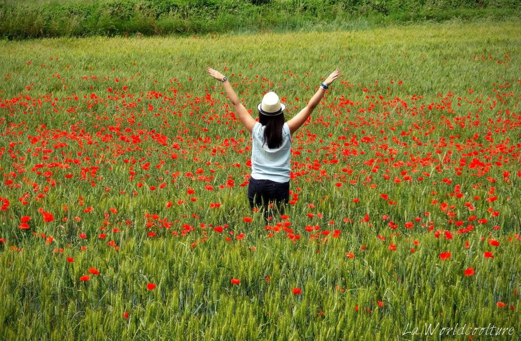Coquelicots Luberon France