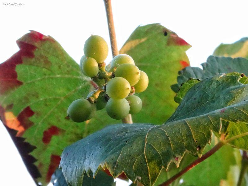 Oenotourisme en Haute Garonne et tourisme du vin dans le vignoble de Fronton