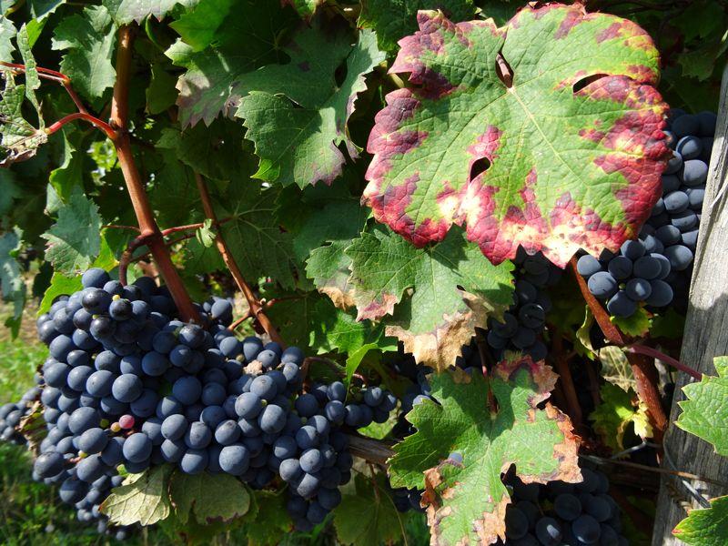 Oenotourisme en Haute Garonne où et comment visiter les vignes ?