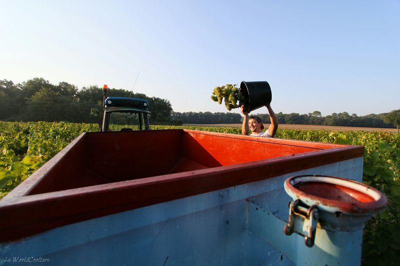 recolte-raisin-visite-guidee-chateau-caze-haute-garonne