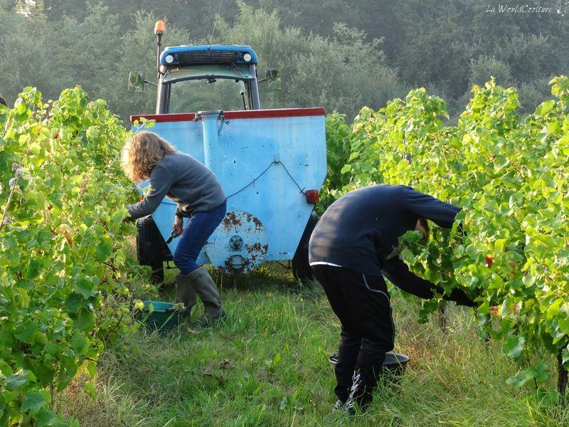 Oenotourisme en Haute Garonne vendanges dans le vignoble de Fronton