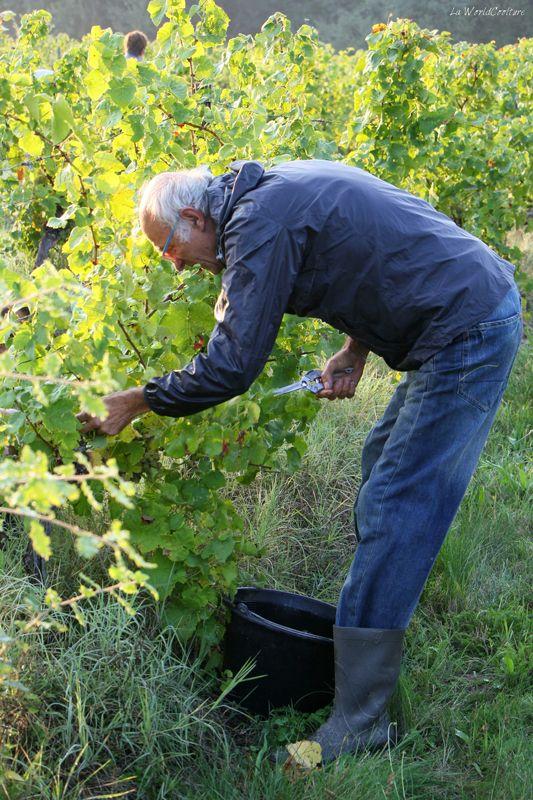 Oenotourisme en Haute Garonne assister aux vendanges à Fronton