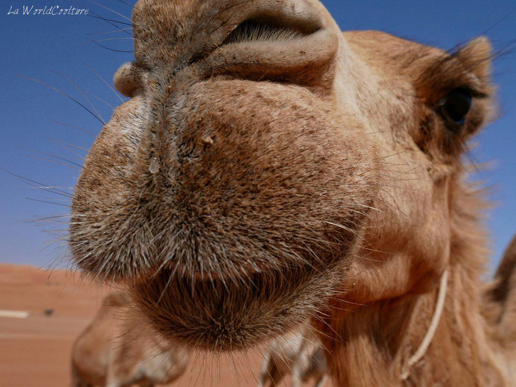 Rencontrer les dromandaires dans le désert de Wahiba Sands à Oman
