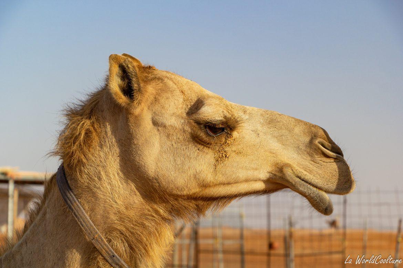 les animaux du désert à Oman