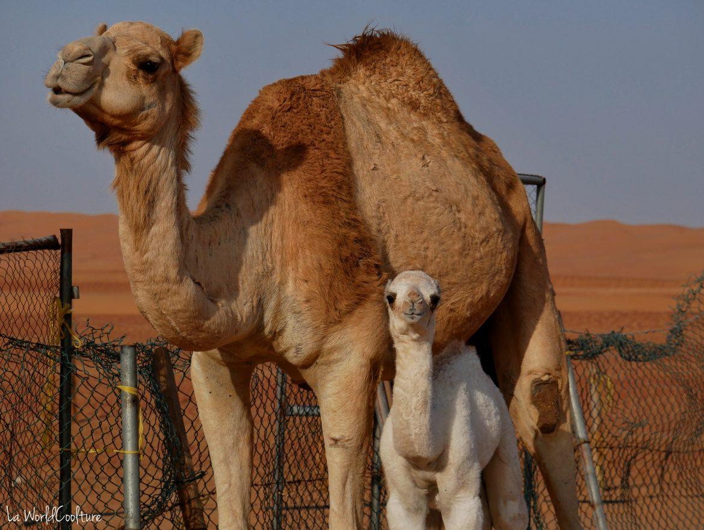 élevage de dromadaires dans le désert de Wahiba Sands à Oman